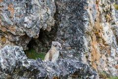 De poolvos zit onder een rots dichtbij zijn gat royalty-vrije stock afbeeldingen