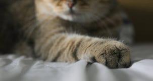 De poot Britse kat van de close-upkat ` s stock videobeelden