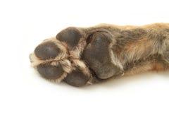 De poot van de hond Stock Foto's