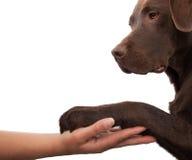 De poot van de hond en menselijke hand die een handdruk doen Royalty-vrije Stock Foto's