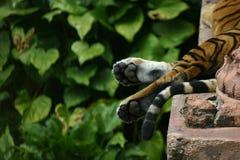 De Poot van de tijger Stock Fotografie