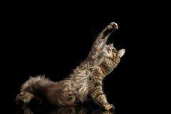 De poot van Maine Coon Cat Raising omhoog op Zwarte Achtergrond wordt geïsoleerd die royalty-vrije stock foto's