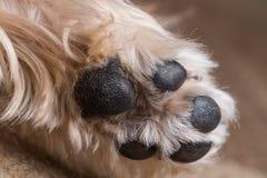 De Poot van Yorkshire Terrier Royalty-vrije Stock Foto