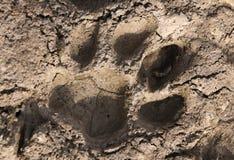 De pootaf:drukken van de tijger. stock afbeeldingen