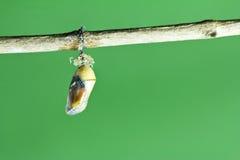 De pop van de monarchvlinder royalty-vrije stock afbeelding