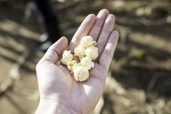 De Popcorn van het ketelgraan in een Hand royalty-vrije stock afbeelding