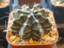 De populaire binneninstallatieselementen en succulents de rozettenverscheidenheden met inbegrip van speld beschermen cactus reali stock foto's