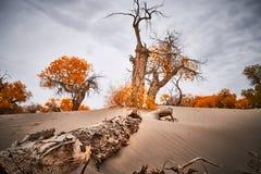 De populierbomen groeien tenaciously in woestijn stock afbeeldingen