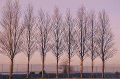 De populierbomen van de kust Stock Afbeelding