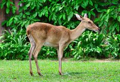 De portretantilope op groen gras heeft struikachtergrond Stock Fotografie