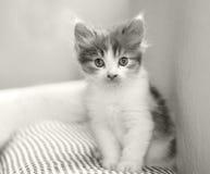 de pot van de babykat Stock Afbeeldingen