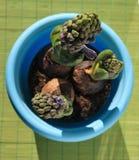De pot van de bloem met Blauwe hyacint Stock Afbeeldingen