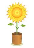 De Pot van de zonnebloem Stock Foto