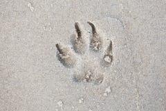 De poten van de spoorhond in het zand Stock Afbeeldingen