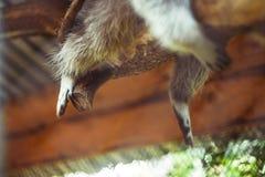 De poten van een wasbeer die van een tak hangen royalty-vrije stock foto