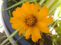 De pottengoudsbloem van Calendulaofficinalis stock afbeeldingen