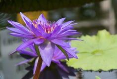 De pourpre les détails de fleur lilly Photographie stock libre de droits