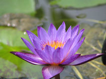 De pourpre plan rapproché waterlily Photo libre de droits