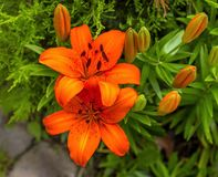 De Pracht van trillende Oranje Lilly royalty-vrije stock afbeeldingen