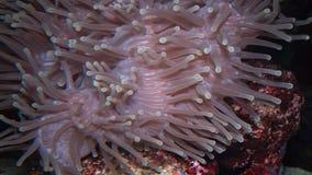 De prachtige die zeeanemoon (Heteractis Magnifica), ook als de Ritteri-anemoon wordt bekend stock video