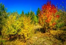 De prachtige gouden herfst in het aardige kreupelbosje Stock Foto