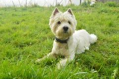 De prachtige Hond die van Terrier van het het Westenhoogland Witte op het Gras in het Natuurreservaat van Gorbeia liggen Dierlijk stock afbeelding