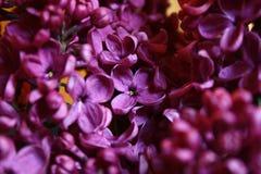 De prachtige purpere bloemen ruiken perfect Royalty-vrije Stock Foto