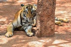 De prachtige tijger van Bengalen, Thailand, kattenleeuw Azië Stock Foto