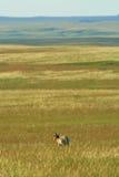 De prairie van Pronghorn Stock Afbeeldingen