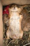 De prairiehond is slaap met het draaien van gezicht - omhoog Stock Afbeelding