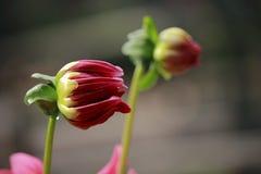 De premi1ere floraison Image stock