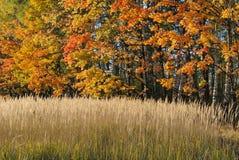De prentbriefkaar van de herfst. Rood - gele esdoornbladeren stock foto's
