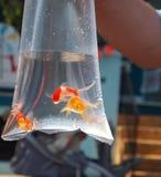De Prijs van de goudvis in Zak Stock Foto