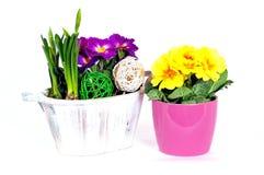 De primulabloemstukken van de lente stock afbeelding