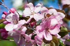 De printemps toujours la vie Fleurs roses de pomme avec de jeunes feuilles photographie stock