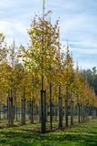De Privattuin, parkenboomkwekerij in Nederland, specialiseert zich in middel aan zeer grote bomen, grijze elsbomen in rijen stock fotografie