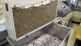 De productie van de tabaksindustrie stock video