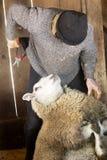 De professionele in orde makende spijkers van de schapensnijmachine in een schuur van Connecticut stock afbeeldingen