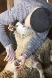 De professionele in orde makende spijkers van de schapensnijmachine in een schuur van Connecticut royalty-vrije stock foto