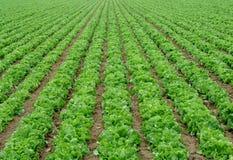 De professionele productie van de salade Stock Foto