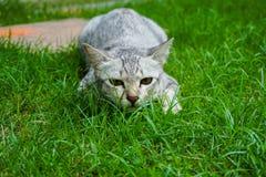 De prooi van de kattenhinderlaag op gras Royalty-vrije Stock Afbeeldingen
