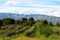 De Provence, Olijfbomen Royalty-vrije Stock Afbeeldingen