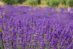 De Provence, tot bloei komend purper lavendelgebied in Valensole Frankrijk Stock Foto's