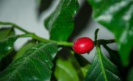 De Provincie van de koffie Plant Royalty-vrije Stock Foto