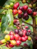 De Provincie van de koffie Plant Royalty-vrije Stock Afbeeldingen
