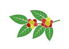 De Provincie van de koffie Plant Geïsoleerde coffe tak op witte achtergrond royalty-vrije stock afbeelding