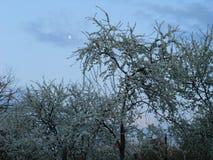 De pruim die tegen de avondhemel tot bloei komen Stock Afbeelding