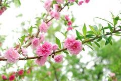 De pruimbloesem in volledige bloei Stock Foto
