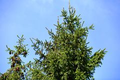 De prydliga granarna ger ofta överflödande frukt i form av kottar, som är i sin tur en läckerhet för olika fåglar men också för s royaltyfria foton