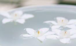 De PUD Pitchaya blommorna Arkivbild